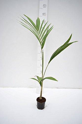 Seltene Königspalme Zimmerpalme - Archontophoenix cunninghamiana illawarra - verschiedene Größen (80-100cm - Topf Ø 14cm)