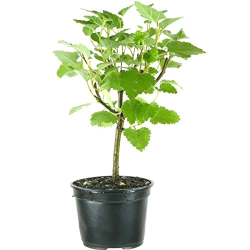 betula-pubescens-downy-birch-3-ans