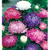 Go Green Aster Double Mixed Seeds (Pack of 50)