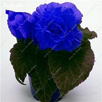 Nouveau! 150 Pcs Begonia Graines Bonsai Graines de fleurs Bonsai Maison & Jardin Flor Plantes en pot Purifier l'Office Air Bureau Fleurs 13