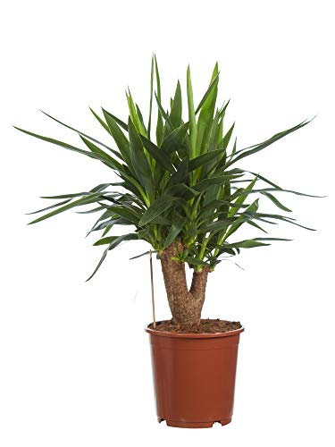 BOTANICLY | Zimmerpflanze | Yucca elephantipes | 80 cm