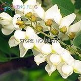 Seltene goldene Mimosa Samen schönen Acacia Baileyana Gelb Akazie Baum Blumensamen immer Bonsai blüht das ganze Jahr über 50PCS