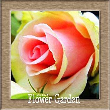 VISTARIC 15: pots de fleurs Big jardiniÚres, 20 types, 50 PCS/Lot, rose graines arc-en-Belle rose graines bonsaïs graines, 15 B4LT8H