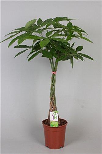 Glückskastanie (Pachira aquatica), Pflanze mit geflochtenem Stamm, ca. 110cm hoch, im 21cm Topf, Zimmerpflanze