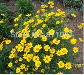 potseed 1, rosa: rosa: 10 graines mirto semi dell'albero del fiore vaso da fiori per i semi di decorazione del giardino di piante da fiore perenne blooms cheap