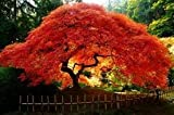 Shoppy Star: Maple Amur (Feuer-Ahorn Flamme) Nice Garden Baum 10 Samen von Samen Kingdom