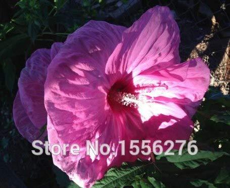 Pinkdose 50pcs frische echte GIANT Hibiscus-Blumensuppen * Teller * HARDY * Easy Grow Pflanzen sementes: Rosa - Teller Hibiscus Pflanzen