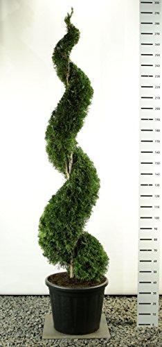 Spirale Formschnitt - Lebensbaum - Thuja occidentalis smaragd - 250-275cm im 80 Ltr. Topf