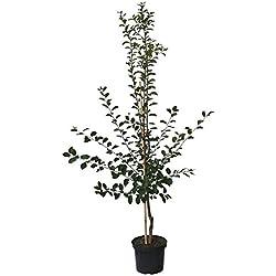 Müllers Grüner Garten Shop Königin Viktoria große saftige Pflaume schwachwachsend Pflaumenbaum 120-150 cm 10 L Topf Wangenheims