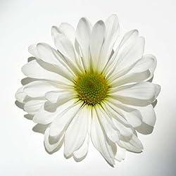 Feelingathome- IMPRESION-SOBRE-LIENZO-100% algodon-margarita-blanca-cm57x57-cuadro-reproduccion-en-lienzo-ENMARCADO