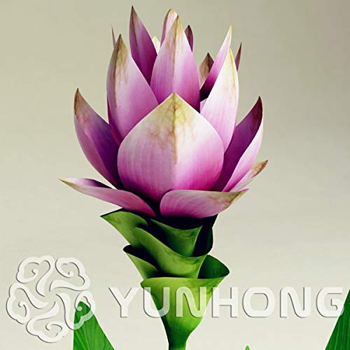Pinkdose Auf Verkauf 100 STÜCKE Curcuma Alismatifolia Bonsai Kraut Pflanzen Einfach Zu Wachsen Garten Frische Bonsai Töpfe Bonsai Freies Verschiffen: MIX