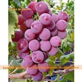 PLAT firm-SEMI Rare Seed Vitoria vino rosso Uva, 30 semi/pack, Super-dolci e succosi Uva Heirloom Frutta Seme-Land Miracle