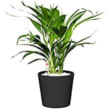 EVRGREEN Goldfruchtpalme | Golfblattpalme | Zimmerpflanze in Hydrokultur | im Set inkl. Keramiktopf (anthrazit/schwarz) | Chrysalido carpus Lutescens