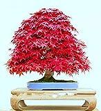 VISTARIC 2: Willow Spiraea Sorghum Plum Samen etwa 100 Samen 2