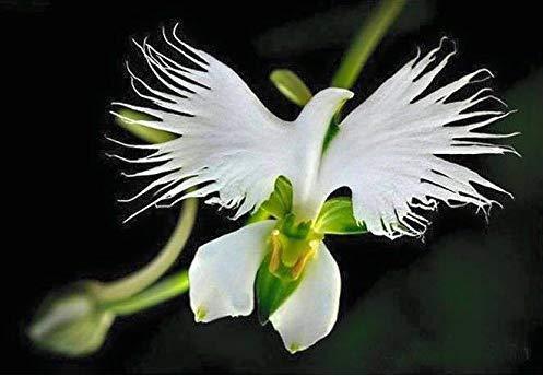 NiceButy Fleurs Pigeon/Egret Magnifiques/rares, Blanc (5 graines) décoration de la Maison