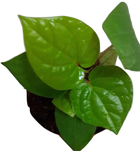 Fressia Betel Leaf Live Plant with 4 inch Pot