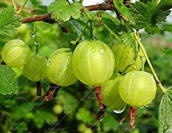 Fash Lady 120 STÜCKE Rote Johannisbeere Obstpflanze Pan-American Stachelbeere Samen Laterne Obst Samen Physalis Samen Landschaft Anlage Für Hausgarten 6