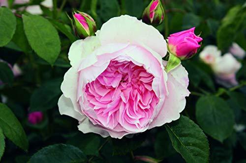 Rose Wisley 2008® (im grossen Container) - kräftige Pflanze im 6lt.-Container