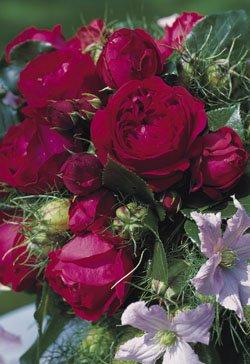 Strauchrose 'Red Eden Rose' -R- im 4 L Container von Rosen-Union eG. - Du und dein Garten