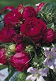 Strauchrose 'Red Eden Rose' -R- im 4 L Container