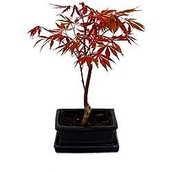 Japanischer Fächer-Ahorn, Acer palmatum, 15cm Schale