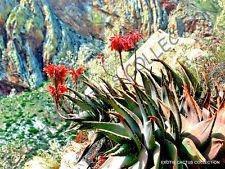 Seltene Aloe COMPTONII mitriformis Exotische Farbe Sukkulente Kaktus rot Samen 10 Samen