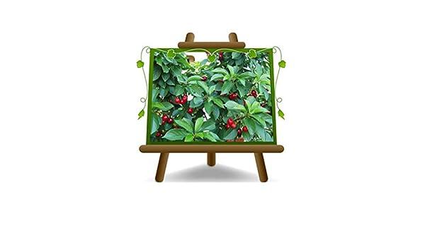 albero max 170-2 anni Pianta da frutto Portainnesto Gisela 5 su vaso da 20 Ciliegio Nano Lapins