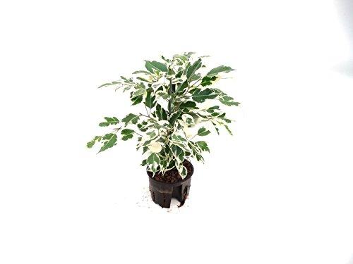 Birknfeige, Ficus benjamina De Gantel, ca.35 - 40 cm, pflegeleichte Zimmerpflanze in Hydrokultur, 11/9er Kulturtopf