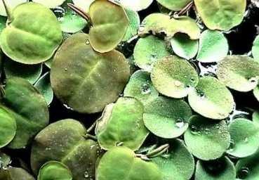 20-x-phyllanthus-fluitans-floating-plant-against-algae