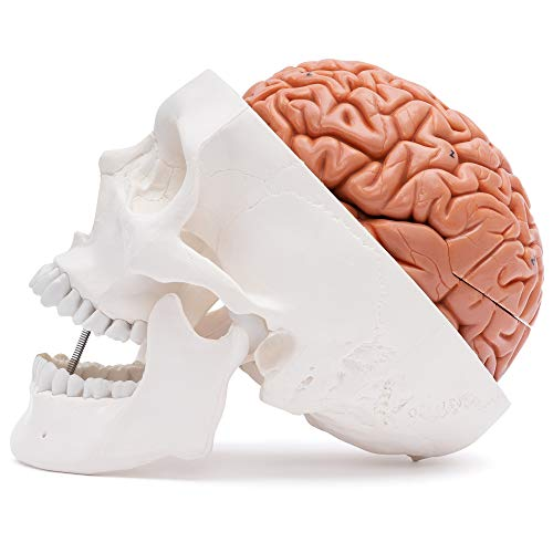 Zoom IMG-2 cranstein e 236 cranio umano