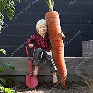 100 / pcs super Grosses graines de carotte Bonsai géant carotte Semences potagères et les graines de fruits Graines bio Hygiène pour jardin Noir