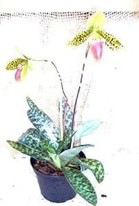 1 fioritura abilitato Orchidea il varietà: sukkahkulii di Paphiopedilum, 12cmTopf
