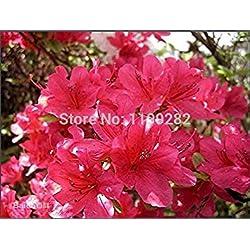 100 SEEDS - 100% echte Azaleen - Rhododendron simsii Seeds (A10024) - Bonsai Blume Pflanzensamen *