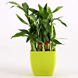 Ferns n Petals 2 Layer Bamboo Plant in Multicolor Pots (Green, 21)