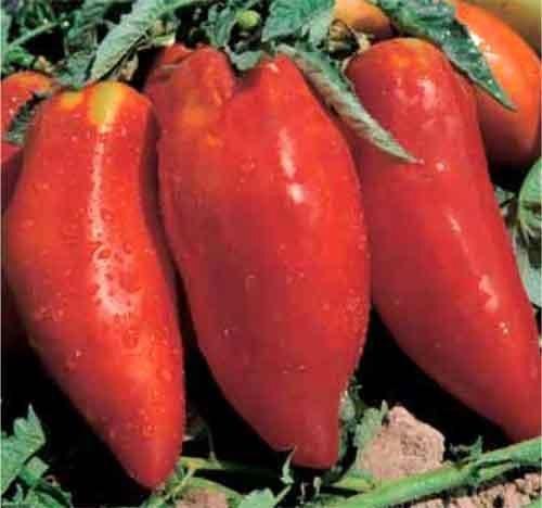 Tomate Piramide - tomate - 50 graines