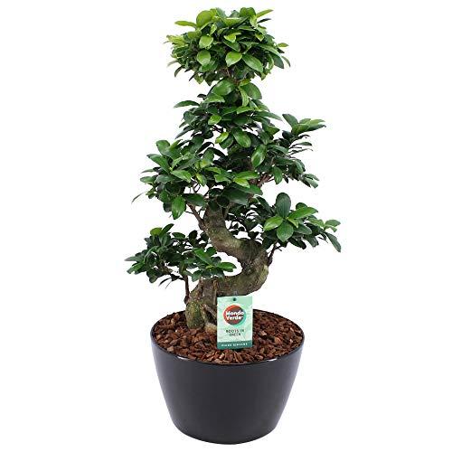 BOTANICLY | Plantas naturales - Ficus ginseng bonsai