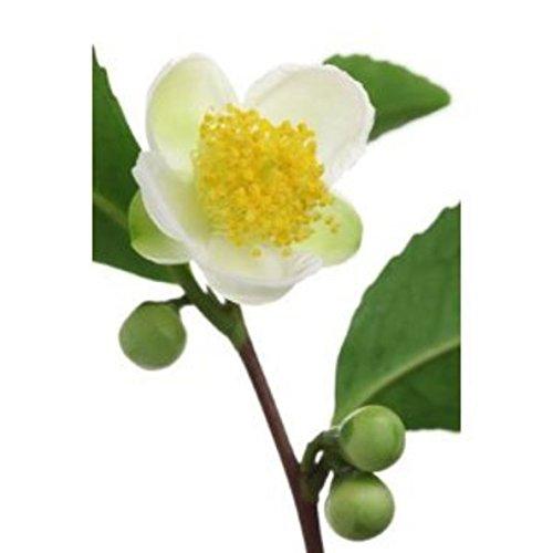 Camellia sinensis Tea Plant 5 seeds