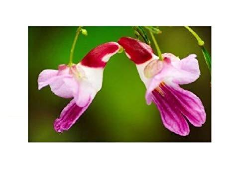 25x Papagei Impatiens psittacina Pflanze Samen Rarität Blumen #38