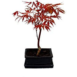 Bonsai Japanischer Fächerahorn - Acer palm. atropurpureum 15cm eckige Schale