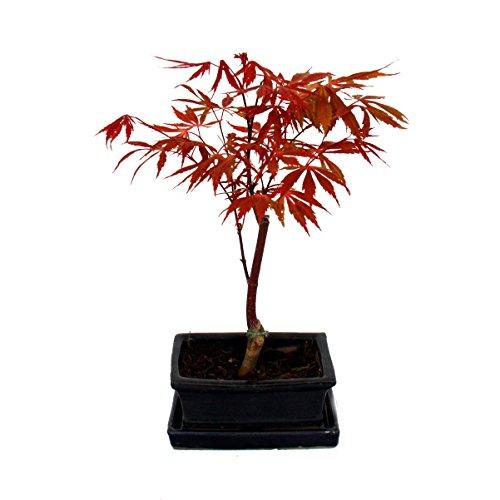 bonsai erable
