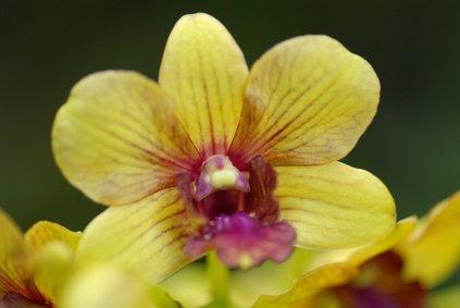 Orchideenbaum gelb Bauhinia Tomentosa 100 Samen