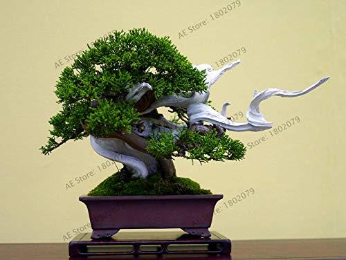 semi del pacchetto: vendita potteds 50 ginepro bonsai albero bonsai fuori purificano l'aria assorbe nociva es ginepro seedss, 8dot by farmerly