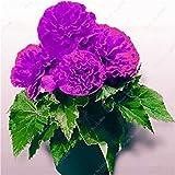 50 PC Bonsai Begonia Samen Mischung Farbe Hybrida Voss Laternen Blumen Begonia Malus Spectabilis chinesischen Bonsai-Garten-Dekoration 6