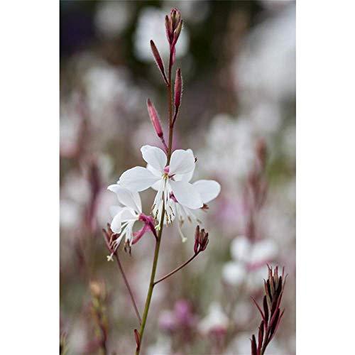 Gaura lindheimeri - Prachtkerze, weiß, im Topf 13 cm, in Gärtnerqualität