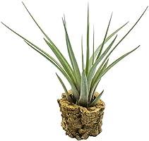 Allterra Tillandsien, Tillandsia fasciculata auf Korkröhre, Bromeliengewächs