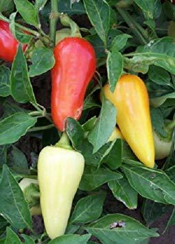 Farmerly 300 Seeds of Hot Pepper Santa Fe Grande Chili Pepper Seeds