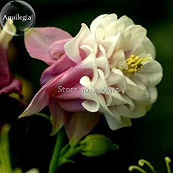 2018 Hot vente Rare Belle Rose Bords blancs ancolie Columbine, longue de 50 graines, fleurs de lumière à votre jardin E3902 clavier
