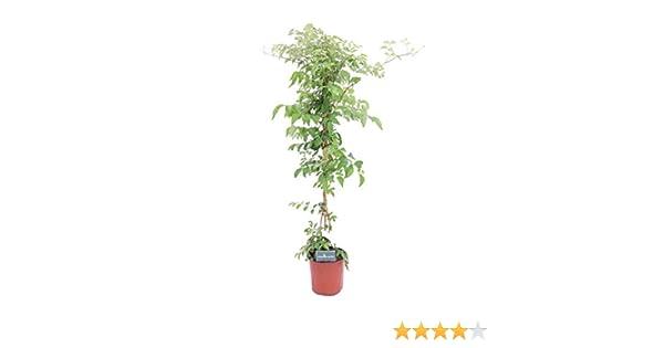 altezza 35 cm. Pianta di Gardenia fiorita cespuglio vaso 17