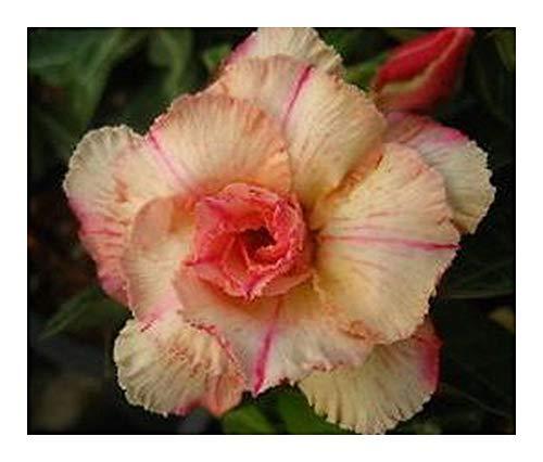 Adenium obesum Siam Vanilla - Rose du désert - Faux baobab - 2 graines