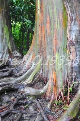 Ventes de 200 pièces/sac Rare Rainbow Arbre tropical Showy, vivace Bonsai Potted Maison et Jardin ing vert clair 1 (GRAINES SEULEMENT)